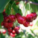 Cherries