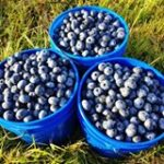 Lindberg's Blueberries Photo