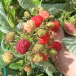 Trapp's Berry Farm Photo